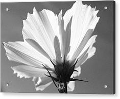 Acrylic Print featuring the photograph Cosmos Bw2 by Gerry Bates