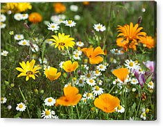 Cosmos Flowers Acrylic Print by King Wu