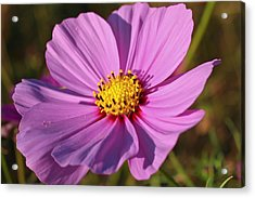 Acrylic Print featuring the photograph Cosmos Love by Julie Andel