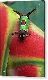 Costa Rica, Close-up Of Caterpillar Acrylic Print by Jaynes Gallery