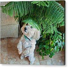 Coton De Tulear Dog Begging Acrylic Print