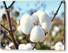 Cotton Boll Iv Acrylic Print by Debbie Portwood