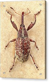 Cotton Boll Weevil Acrylic Print