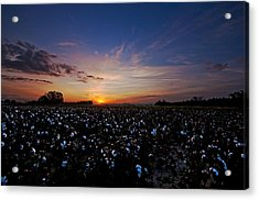 Cotton Field Sunrise Acrylic Print
