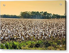 Cotton Fields Back Home Acrylic Print by Jan Amiss Photography