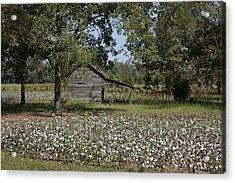 Cotton In Rural Alabama Acrylic Print