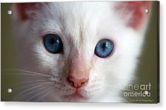 Acrylic Print featuring the photograph Cotton by Sandra Bauser Digital Art
