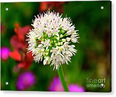 Cotton Top Acrylic Print