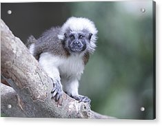 Cotton Top Tamarin  Acrylic Print