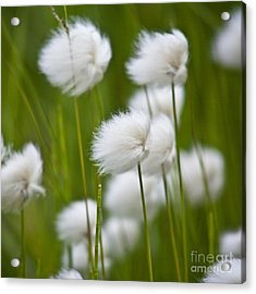 Cottonsedge Acrylic Print