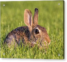 Acrylic Print featuring the photograph Cottontail by Rob Graham