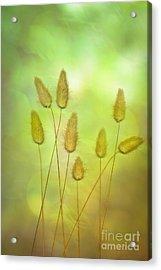 Cottontails Acrylic Print by Jan Bickerton