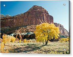 Cottonwoods In Fall The Castlecapitol Reef National Park Acrylic Print