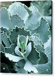 Cotyledon Undulata Foliage Acrylic Print by Andrew Cowin/science Photo Library