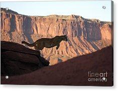 Cougar-animals-image Acrylic Print by Wildlife Fine Art