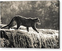 Cougar Crossing Acrylic Print