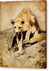 Cougar Hunting Acrylic Print by Ray Downing