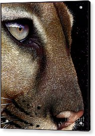 Cougar Acrylic Print by Jurek Zamoyski