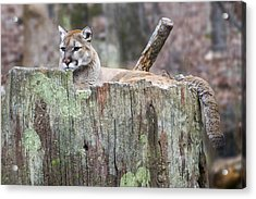 Cougar On A Stump Acrylic Print