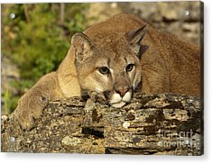 Cougar On Lichen Rock Acrylic Print