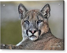 Acrylic Print featuring the photograph Cougar  by Savannah Gibbs