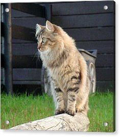 Acrylic Print featuring the photograph Cougar The Barn Cat 2 by Barbie Batson