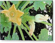 Courgette (cucurbita Pepo) Flowers Acrylic Print