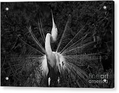 Acrylic Print featuring the photograph Great Egret Courtship Plumes  by John F Tsumas