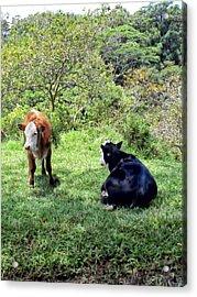 Acrylic Print featuring the photograph Cow 4 by Dawn Eshelman