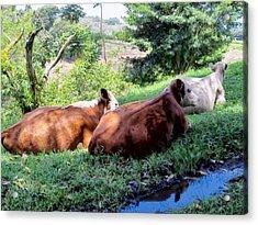 Acrylic Print featuring the photograph Cow 6 by Dawn Eshelman