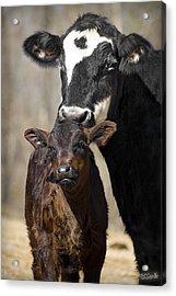 Cow And Calf Acrylic Print by Elizabeth Vieira