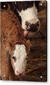 Cow And Calf Acrylic Print by Ioan Panaite