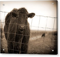 Cow At Fence In Sepia Acrylic Print