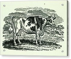 Cow Acrylic Print by British Library