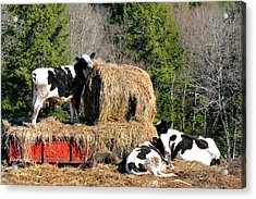 Cow Country Buffet Acrylic Print by Christina Rollo