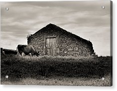 Cow Grazes At Rustic Barn  Acrylic Print