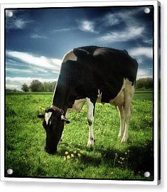 Cow Grazing Acrylic Print