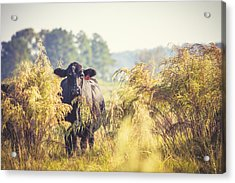 Cow Hiding In The Weeds Acrylic Print by Karen Broemmelsick