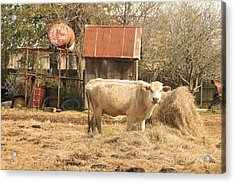 Cow In The Pen Acrylic Print