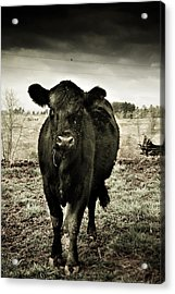Cow In The Winter Pasture  Acrylic Print