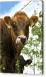 Cow Licking Its Nose Acrylic Print by David Aubrey