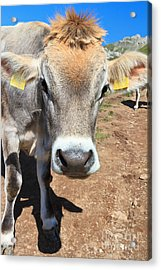 Cow On Alpine Pasture Acrylic Print