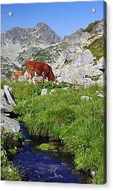 Cow On Alpine Pasture  Acrylic Print by Ioan Panaite