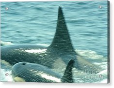 Cow Orca And Her Calf Acrylic Print by Jeff Swan