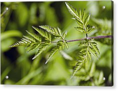 Cow Parsley (anthriscus Sylvestris) Acrylic Print by Science Photo Library