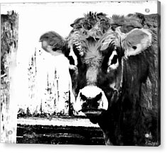 Cow  Pen And Ink Acrylic Print