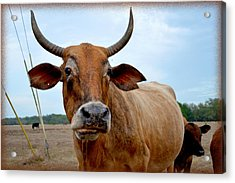 Acrylic Print featuring the photograph Cow Photo 1 by Amanda Vouglas