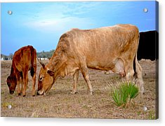 Acrylic Print featuring the photograph Cow Photo 2 by Amanda Vouglas