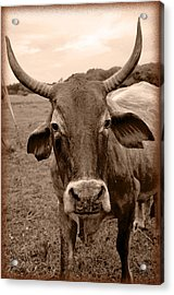 Acrylic Print featuring the photograph Cow Photo 5 by Amanda Vouglas