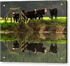 Cow Reflections Acrylic Print